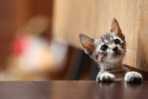 adopt-cat.jpg