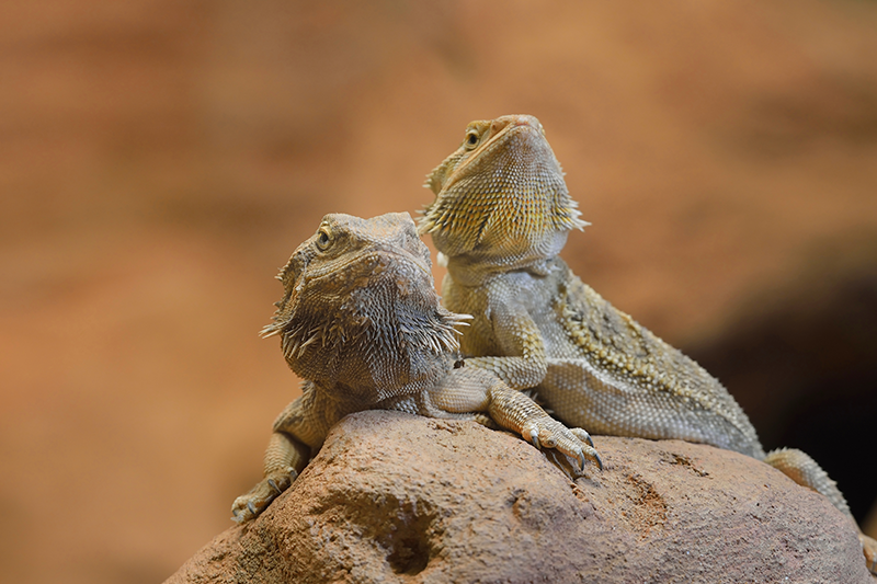 How to care for baby Bearded Dragons | Petbarn Articles