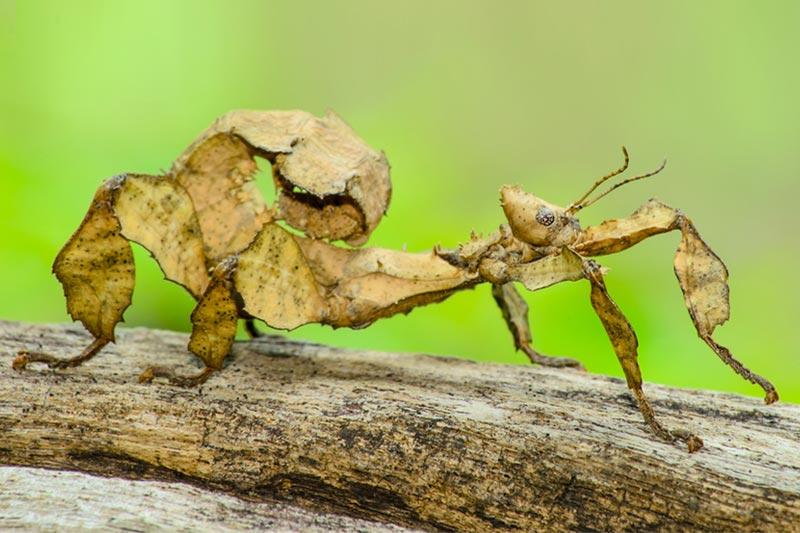 stick bug vs praying mantis