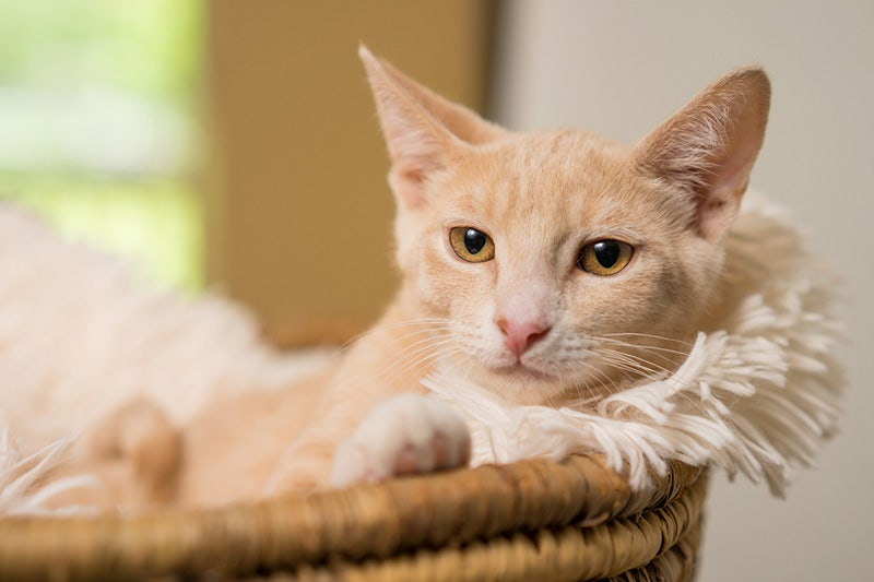Guide To Domestic Shorthair Cats Petbarn