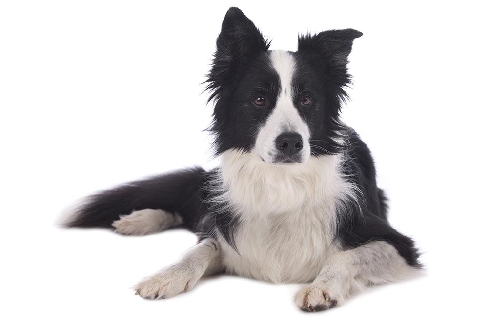 Border Collie Breed Guide | Petbarn