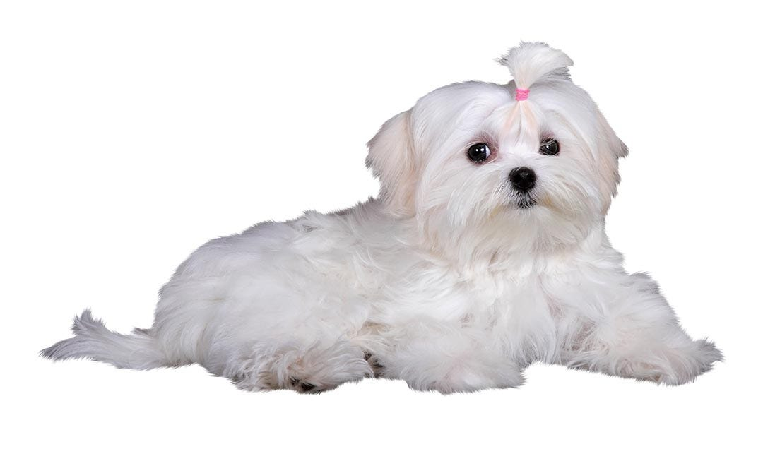 Maltese Terrier Breed Guide Petbarn