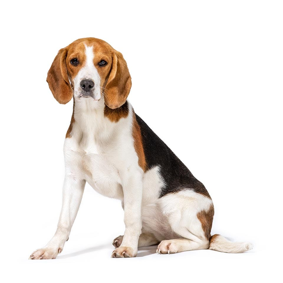 Beagle Breed Guide | Petbarn