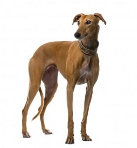 52-greyhound