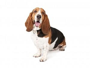 43-basset-hound