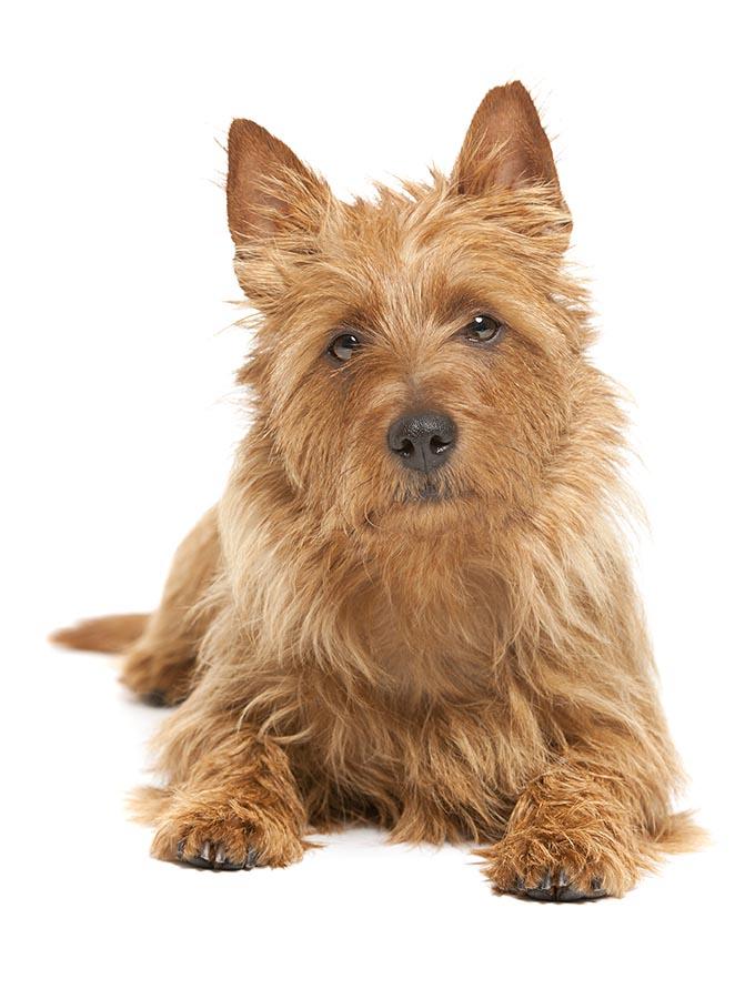 australian terrier breed guide
