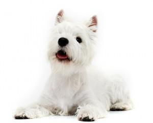 11-west-highland-white-terrier