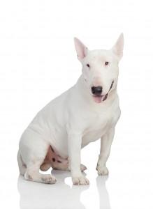 12-bull-terrier