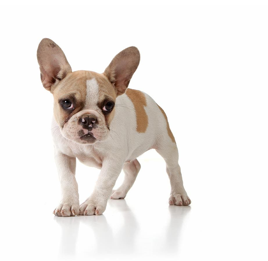 5cd5ba3fa French Bulldog Breed Guide   Petbarn