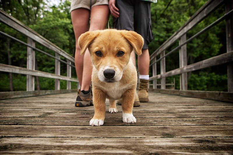 A small brown puppy is walking along a boardwalk with his puppy parent.