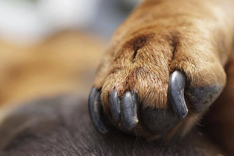 Macro of dachshund paw
