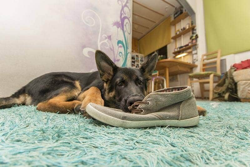 German shepard puppy, eating shoes
