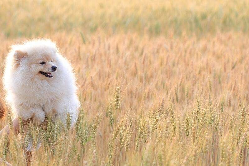 Hairy puppy dog in rice field