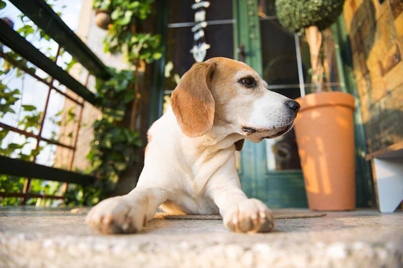Beagle dog guarding