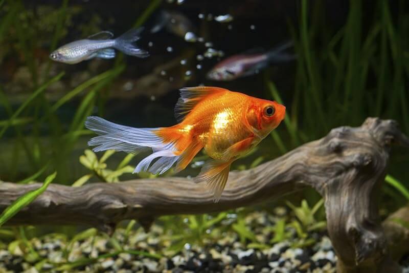 A goldfish in an aquarium