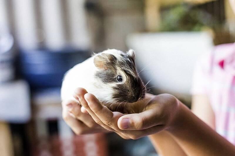 guinea pig, cavy
