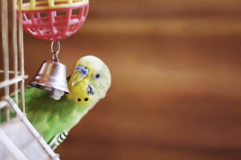 Budgerigar and toys