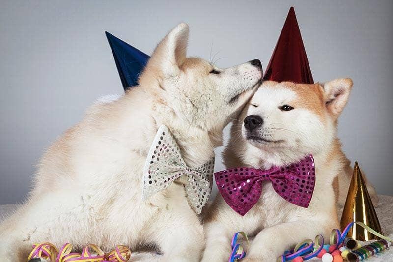 Dog akita in party dress much fashion
