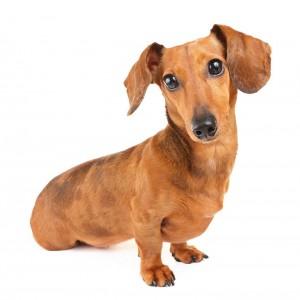 33-dachshund-shorthair