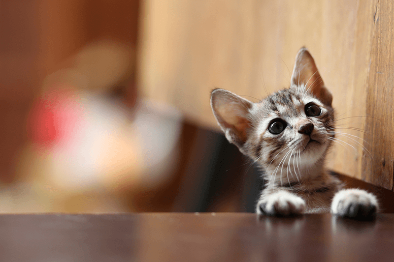 Am I Ready For A Kitten? Questions To Ask Yourself | Petbarn