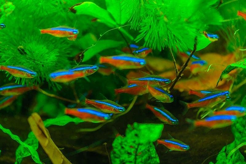0ce879b6 Neon tetras. The easiest way to check your fish tank ...