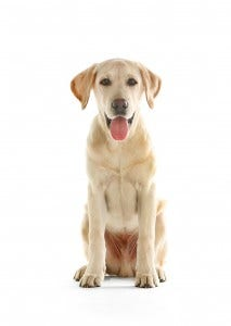 02-labrador-retriever
