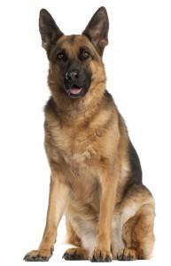 03-german-shepherd