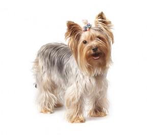 07-yorkshire-terrier