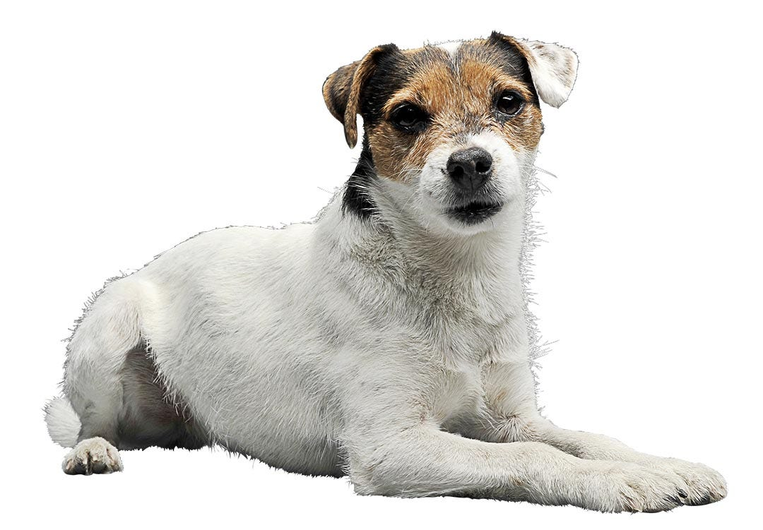 Parson Russell Terrier In Not
