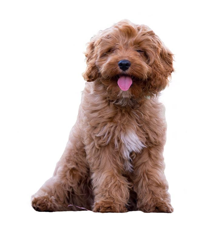 Cavoodle Breed Guide Petbarn