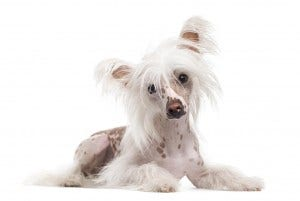 28-chinese-crested