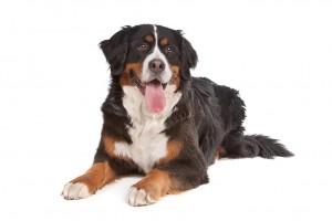 44-bernese-mountain-dog