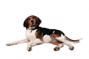 50-foxhound