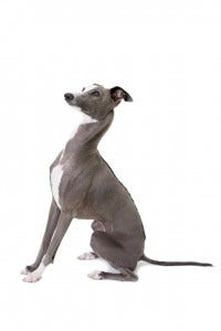53-italian-greyhound