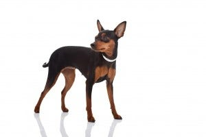 55-miniature-pinscher
