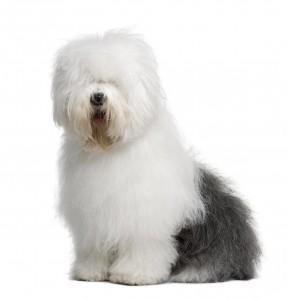 56-old-english-sheep-dog