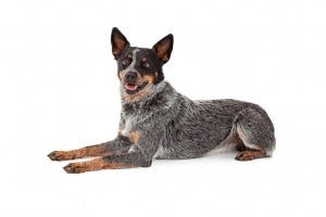 66-australian-cattle-dog