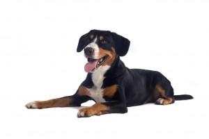 93-greater-swiss-mountain-dog
