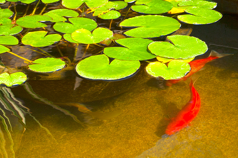 Maintaining Your Garden Fish Pond In Winter Petbarn