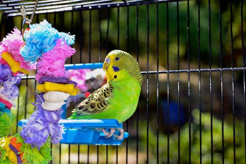 Everything You Need For Your Pet Budgie | Petbarn