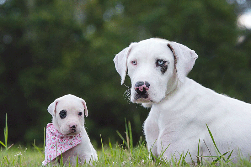 Introducing your puppy to an older dog