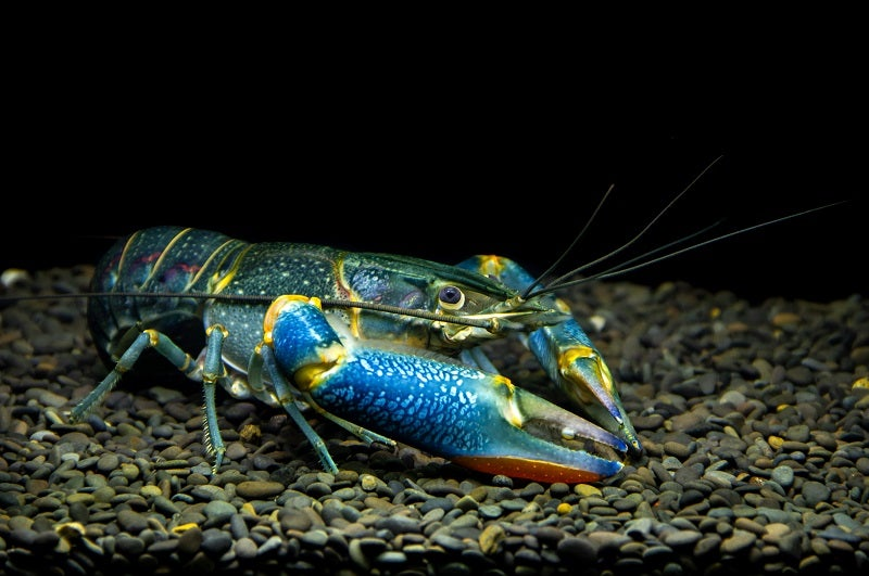 Keeping Yabbies As Pets: The Ultimate Guide | Petbarn