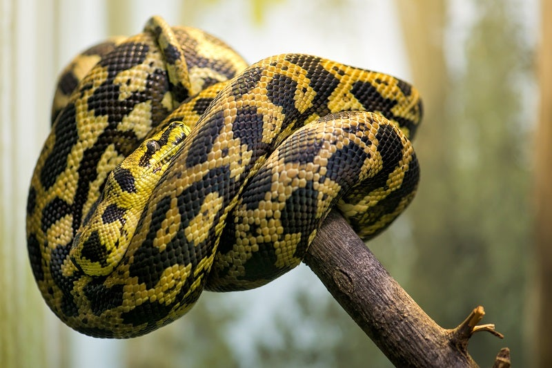 Pet Snake Care Guide How To Look After A Snake Petbarn