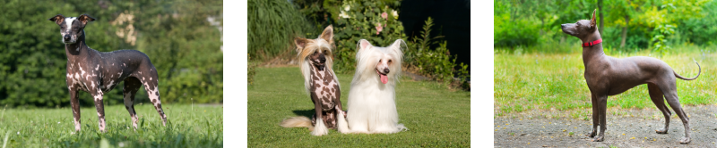 How to groom hairless dogs