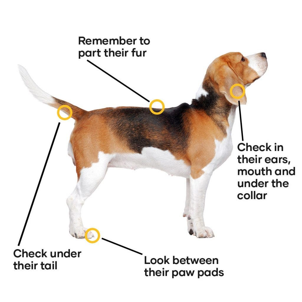 Where to look for ticks on your dog - check their entire body including head, toes, tail and fur